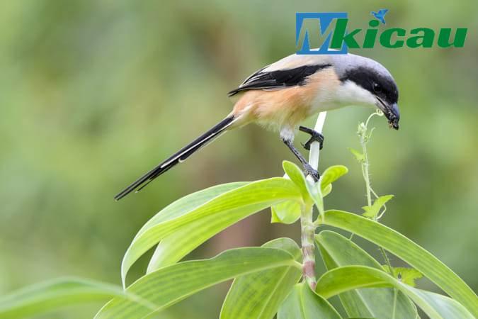 Download Masteran Suara Burung Cendet Gacor