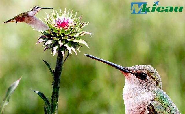 keitimewaan burung kolibri
