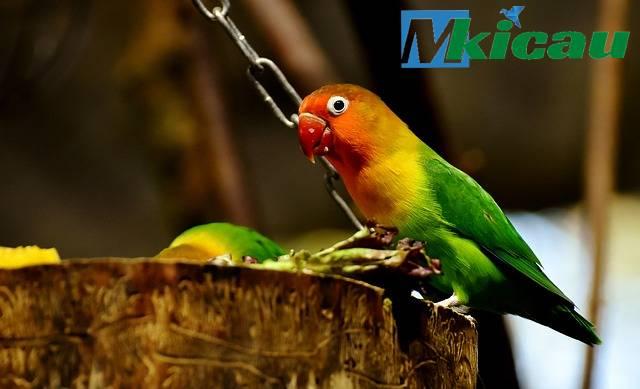 masteran suara burung lovebird