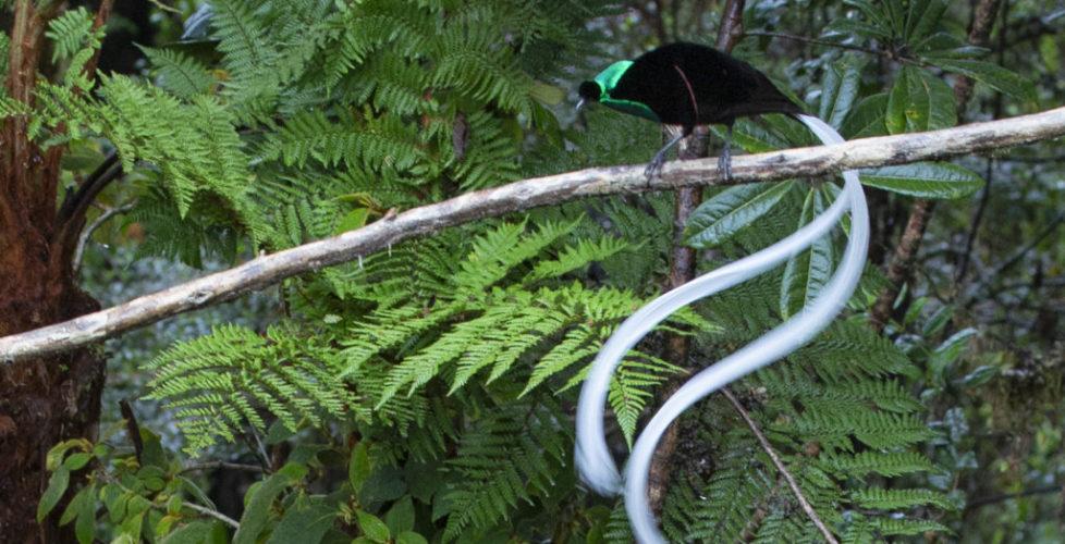 10. Ribbon Tailed Astrapia