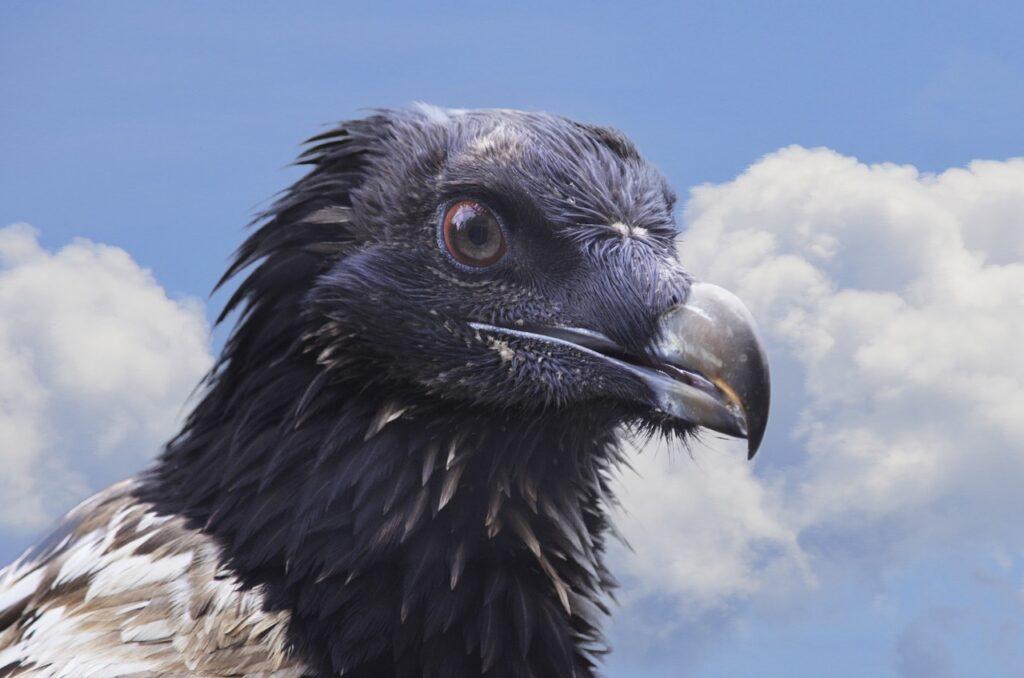 burung bearded vulture