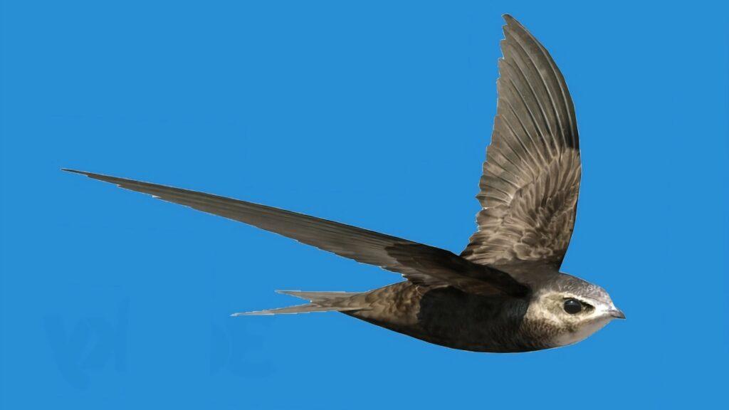 burung Common Swift