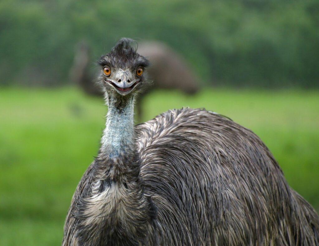 burung Emu