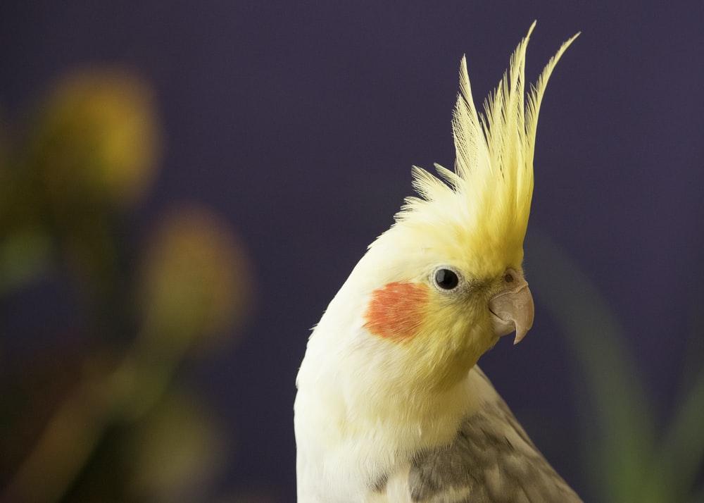 harga burung falk parkit australia