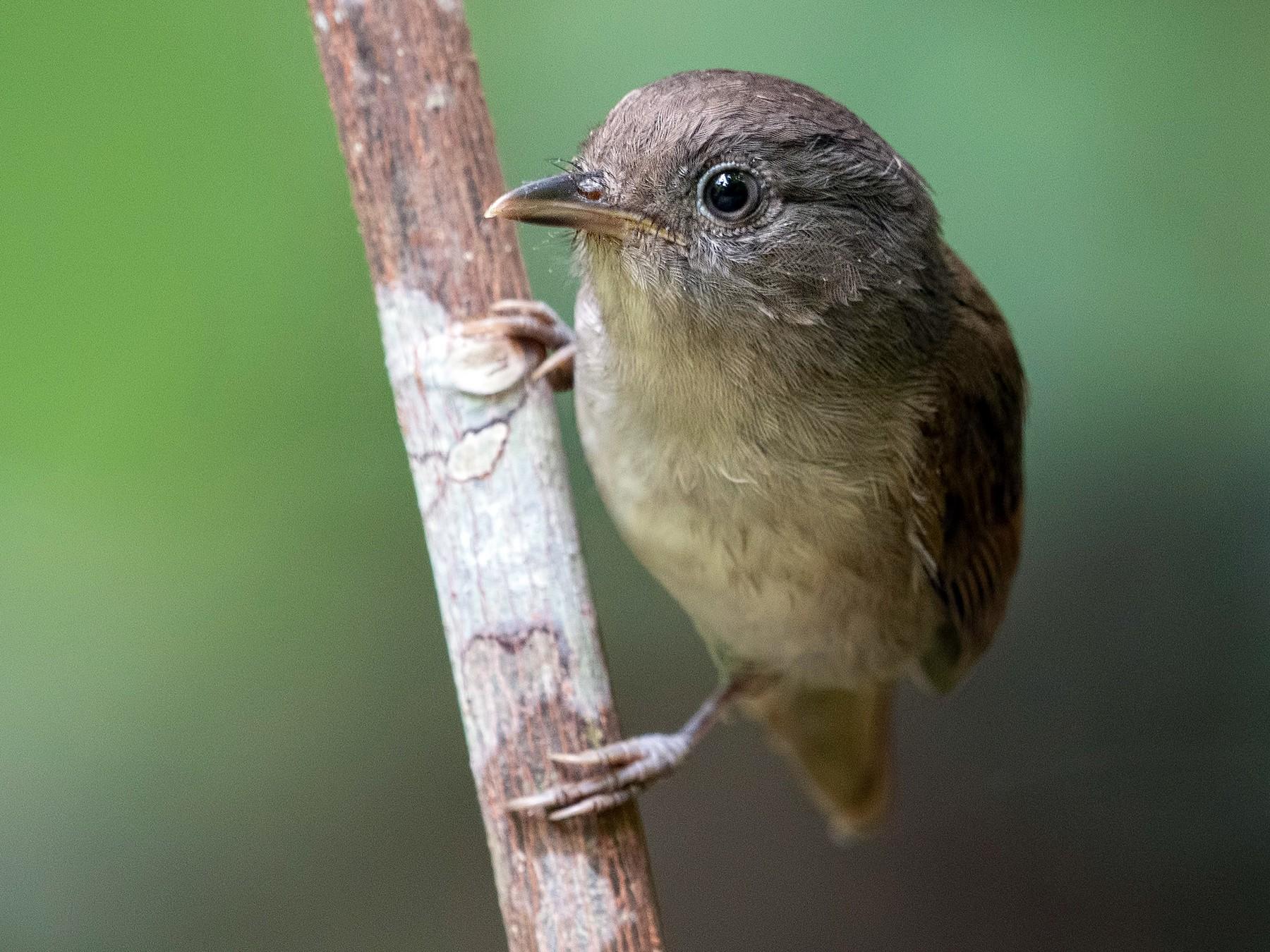 masteran suara burung flamboyan