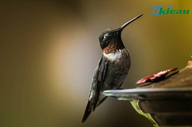 racikan pakan burung kolibri