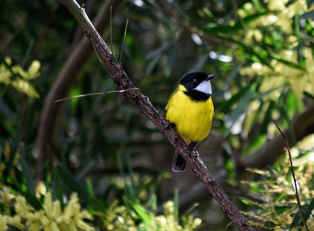 suara burung kancilan emas bimoli mp3