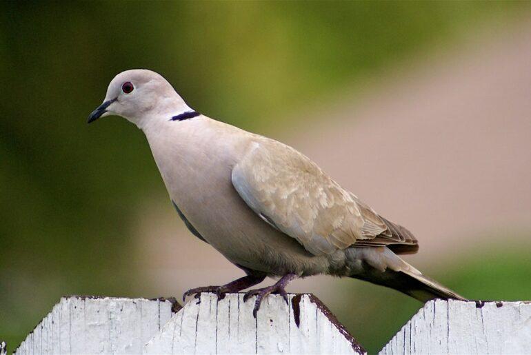 suara burung puter mp3