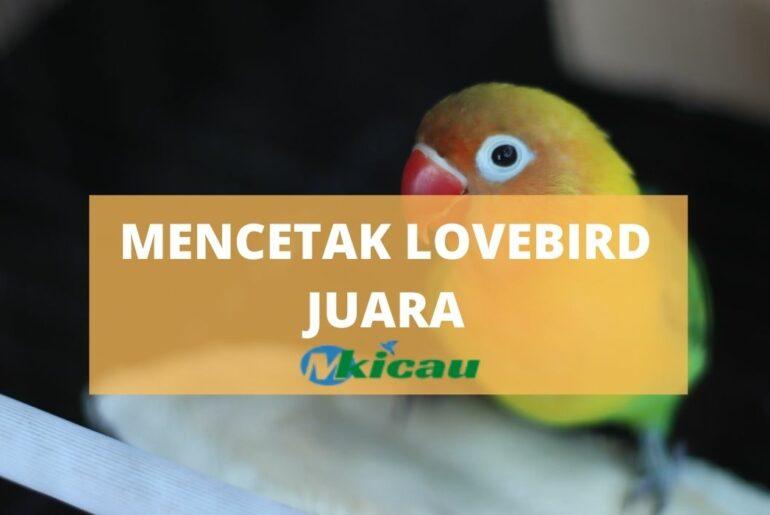 MENCETAK LOVEBIRD JUARA