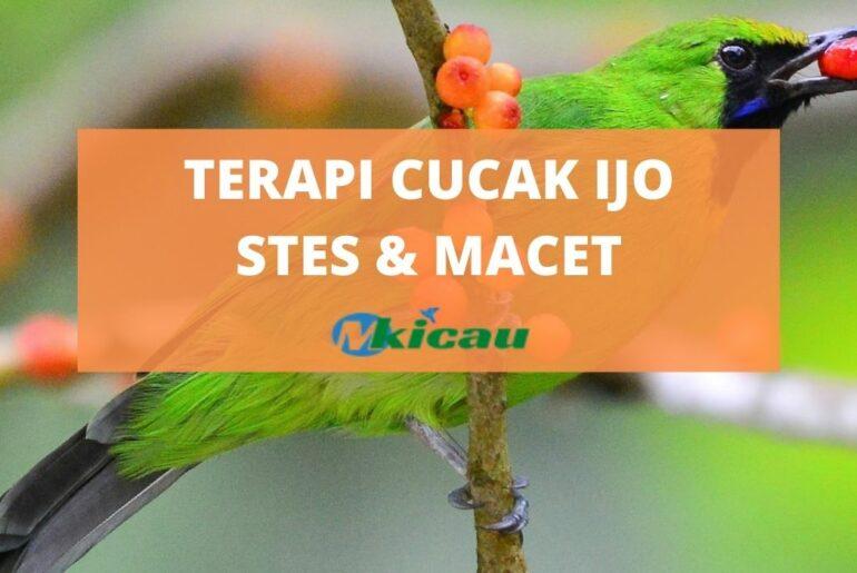 TERAPI CUCAK IJO STES & MACET
