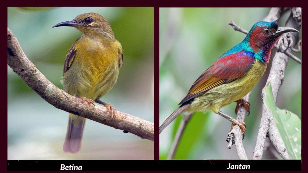 burung madu leher merah jantan dan betina