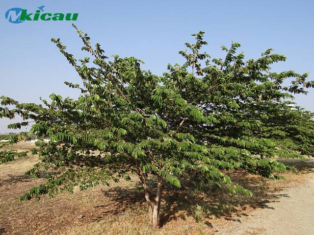 pohon kersen