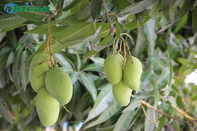 pohon mangga berbuah