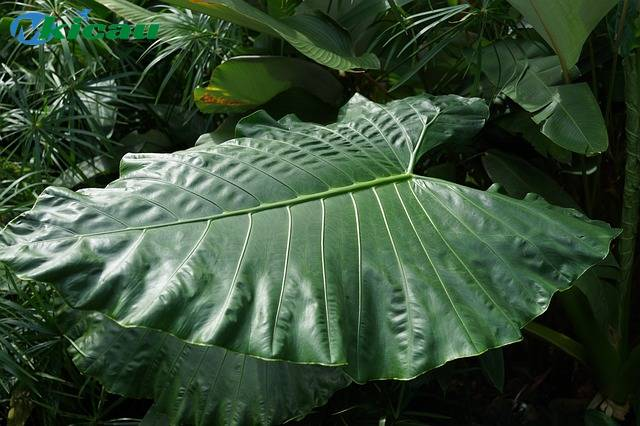 pohon talas